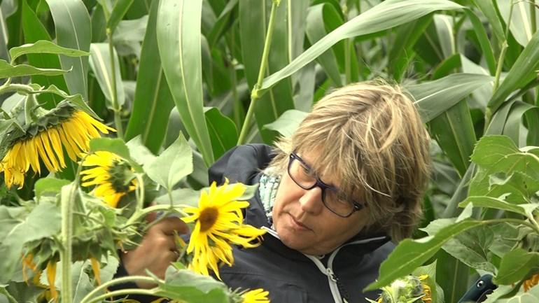 Lint van zonnebloemen kleurt Lochem geel en dat vinden de insecten fijn