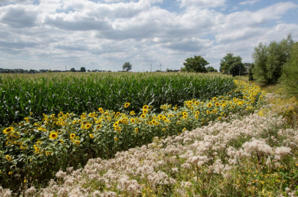 Geel lint van 25 kilometer aan zonnebloemen verschijnt in Lochem