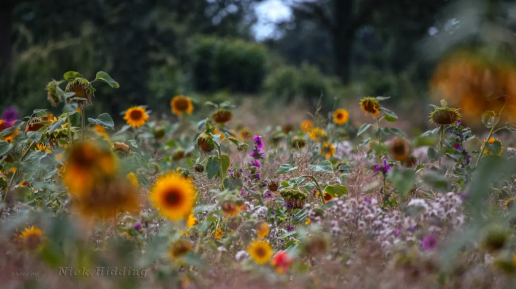 Méér dan zonnebloemen langs de maisvelden